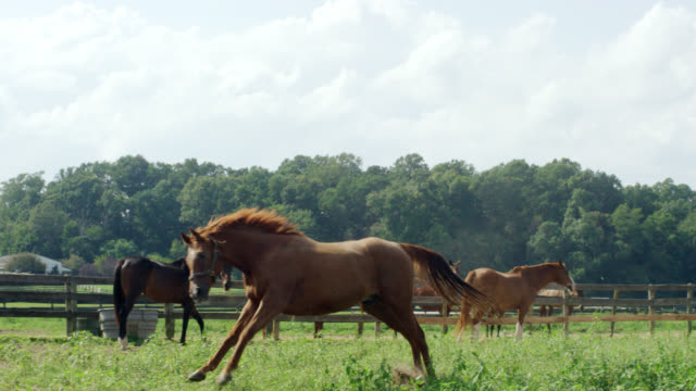Slow Motion Shot of a Horse Running and Frolicking in a Green, Fenced-In Pasture on a Farm on a Sunny Morning