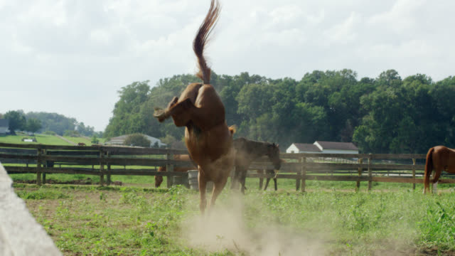 slow motion shot of a horse running, frolicking, and bucking in a green, fenced-in pasture on a farm on a sunny morning - лошадиные стоковые видео и кадры b-roll