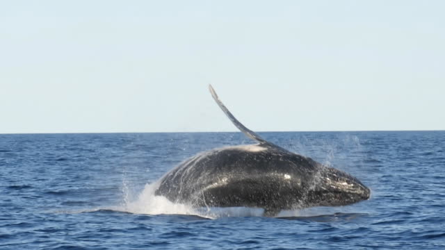 slow motion shot of a humpback whale breaching with back to the camera - wildlife travel stock videos and b-roll footage