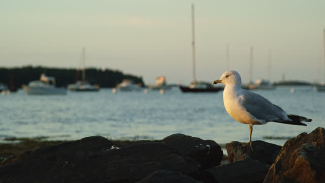 Slow Motion Shot of a Seagull Looking around the Seashore near Portland, Maine with Boats in the Background at Sunset (Atlantic Ocean)