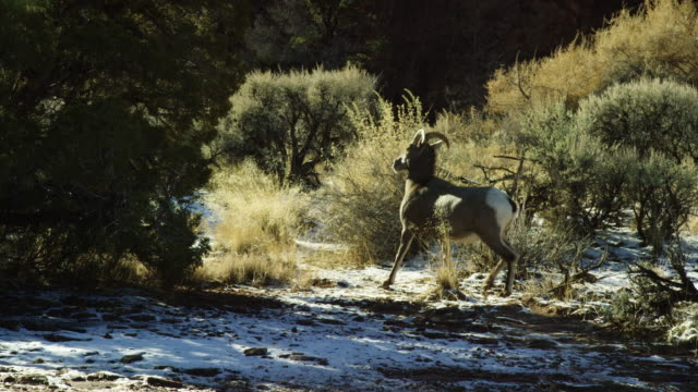 Slow Motion Shot of a Young Bighorn Sheep Running in Winter in the High Desert of Western Colorado on a Sunny Day