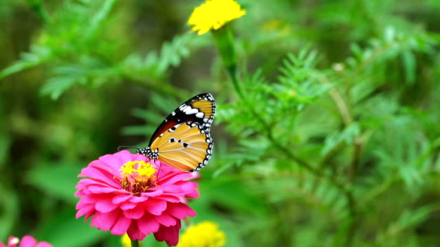 Slow motion shot of butterfly feeding nectar from field of pink flowers Slow motion shot of butterfly feeding nectar from field of pink flowers butterfly insect stock videos & royalty-free footage