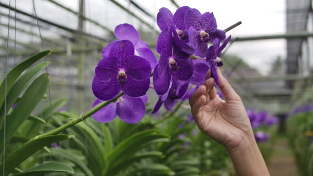 Slow motion shot of Gardener orchid Asian woman are taking care of flowers orchid plant farm small business, a handshot of a woman touching the orchid flower petals