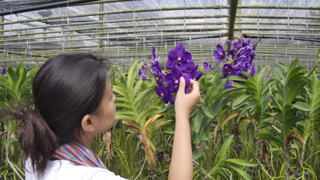 Slow motion shot of Gardener orchid Asian woman are taking care of flowers orchid plant farm small business, a woman touching the orchid flower petals