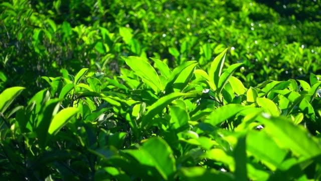 Slow motion shot of green tea plants Slow motion shot of green tea plants 2 plantation stock videos & royalty-free footage