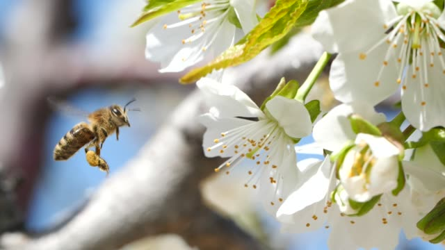 Slow motion shot of honey bee picking up pollen from cherry tree