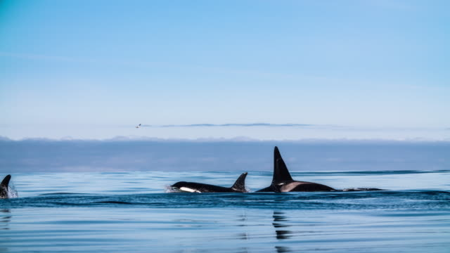Slow motion shot of killer whales with a orca calf video