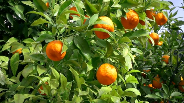 Slow motion shot of orange tree video