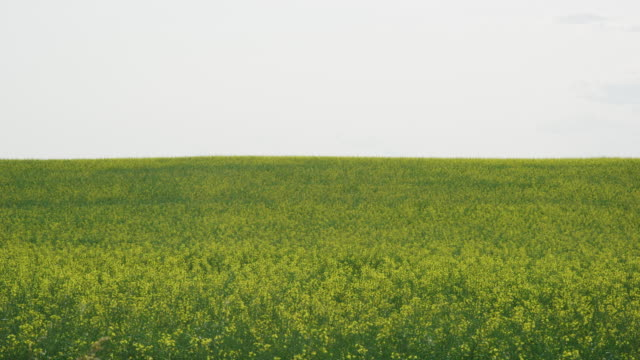 vídeos de stock, filmes e b-roll de slow motion shot of rape (canola) plants waving gently in a agricultural field on a partly cloudy day in partly cloudy day in alberta, canadá - gramado terra cultivada