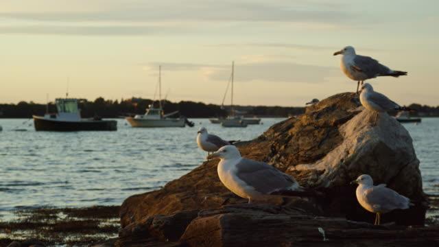 stockvideo's en b-roll-footage met slow motion shot of seagulls zittend op een rots in de buurt van de kust in de buurt van portland, maine met boten op de achtergrond bij zonsondergang (atlantische oceaan) - baai