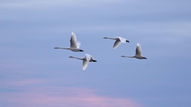 青空の背景を飛ぶ白鳥のスローモーションショット - 鳥点の映像素材/bロール