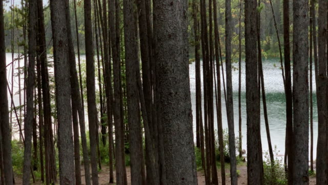 Slow Motion Shot of the Trunks of Many Trees with a Lake behind Them in Jasper National Park in Alberta, Canada