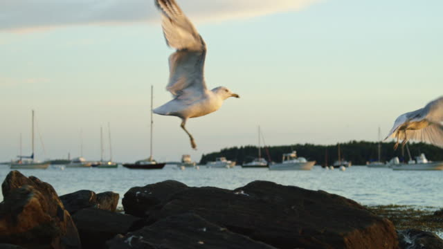 Slow Motion Shot of Two Seagulls Taking Flight off of a Rock near the Seashore near Portland, Maine with Boats in the Background at Sunset (Atlantic Ocean)