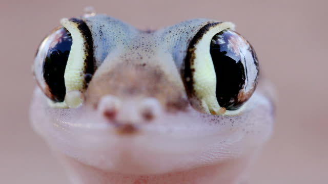 Slow motion shot of web footed/Palmato gecko licking moisture from its eyes Slow motion shot of web footed/Palmato gecko licking moisture from its eyes gecko stock videos & royalty-free footage