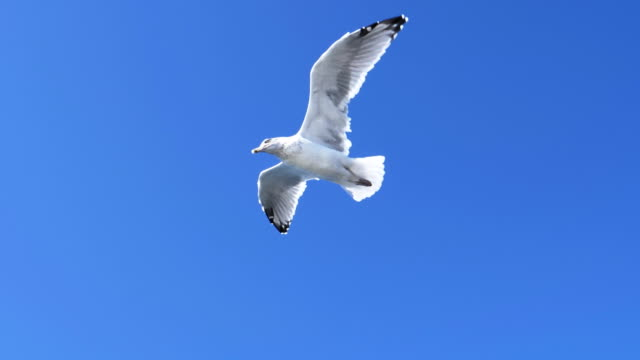 slow motion shot seagull flying to the left at portland, maine slow motion shot of a seagull flying to the left above a fishing boat at portland, maine seagull stock videos & royalty-free footage