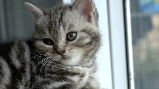 Slow motion sleepy tabby kitten breed Scottish Fold looking at the camera