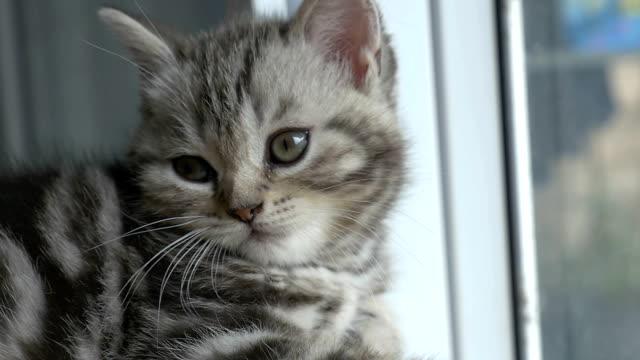 スローモーション眠いタビー子猫は、カメラを見てスコットランドフォールドを繁殖 - ふわふわ点の映像素材/bロール