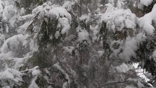 Slow motion snow falling from pine trees