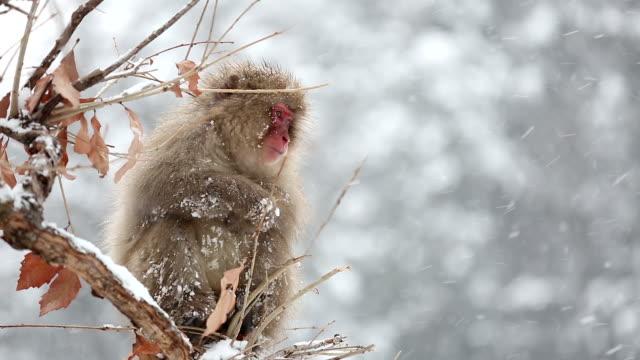 hd slow motion: snow monkey japanese macaque on tree eating - japon makak maymunu stok videoları ve detay görüntü çekimi