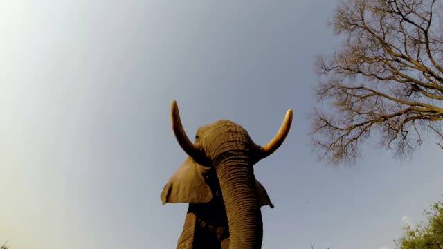 Slow motion spectacular footage of elephants walking directly over camera video