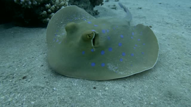 vídeos de stock e filmes b-roll de slow motion, stingray quickly swim over sandy bottom. blue-spotted stingray (taeniura lymma). close up, underwater shot, red sea, egypt - uge