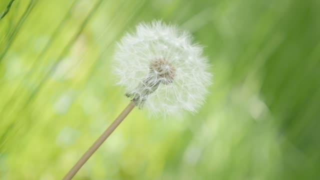 ağır çekim karahindiba çiçeği alan doğal arka plan 1080p hd ayak - yalnız karahindiba çiçek tomurcuk içinde yeşil çimen uyuşuk 1920 x 1080 fullhd video - üreme organı stok videoları ve detay görüntü çekimi