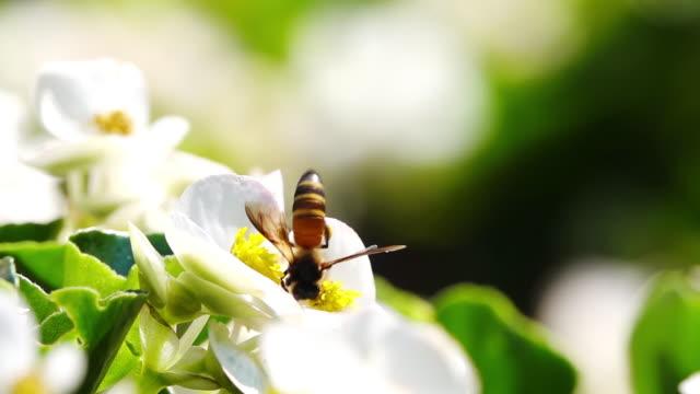 slow motion, bina samla nektar från pollen. - pollinering bildbanksvideor och videomaterial från bakom kulisserna