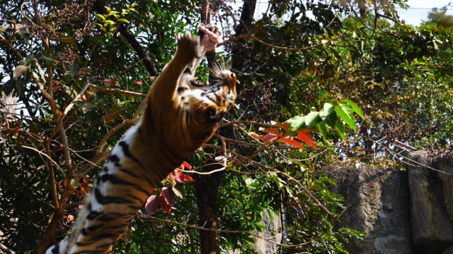 slow motion tiger show hoppar äta mat - tiger bildbanksvideor och videomaterial från bakom kulisserna
