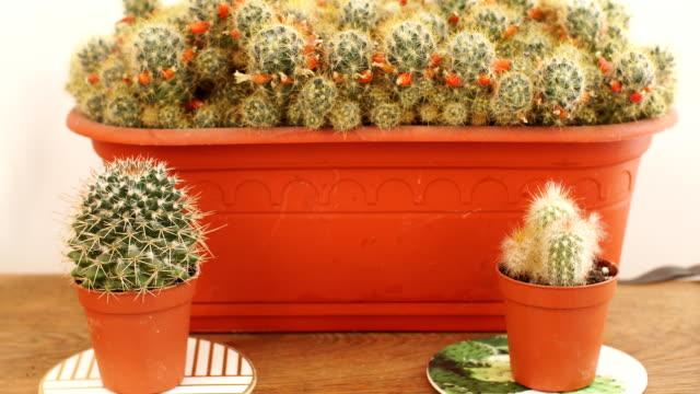 Slow motion various of mini cactus in the mini pot