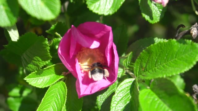 slow motion video of a bumblebee pollinating a rose hip flower - pistillo video stock e b–roll