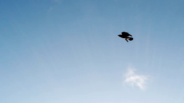 Slow motion video with a crow flying in the blue summer sky