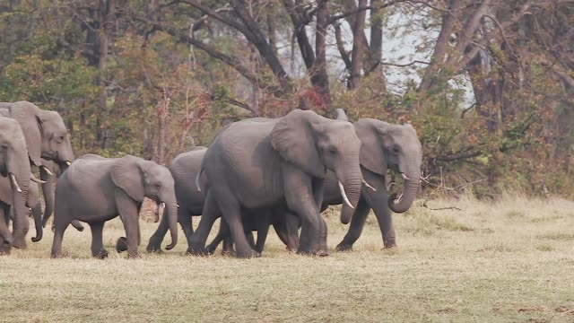 Slow motion view of breeding herd of elephants with young calfs coming down to the river to drink.  Okavango Delta, Botswana