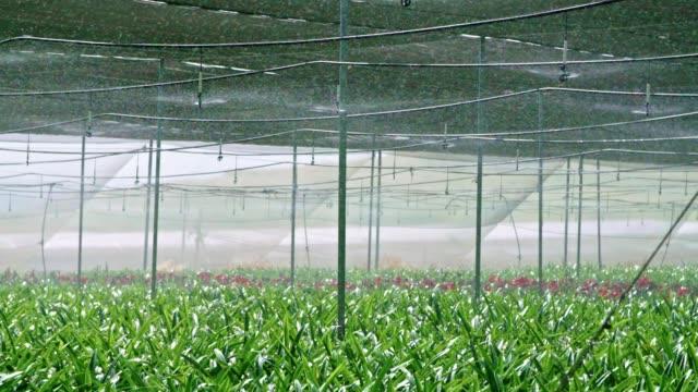 slow-motion - wasser sprinkers amaryllis pflanzen in einem gewächshaus gießen - gewächshäuser stock-videos und b-roll-filmmaterial