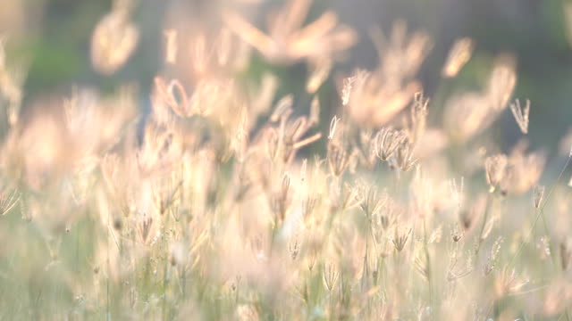 Slow motion wind blowing grass on grassland and beautiful sunset. It pasture landscape is beauty and refresh. It pink or purple floral flower in meadow field. Sunlight thought green leaf and flower.
