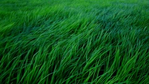 yavaş çekim çayırdan esen rüzgar - rüzgar stok videoları ve detay görüntü çekimi