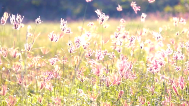 Slow motion windy on grass move on grassland on sunset
