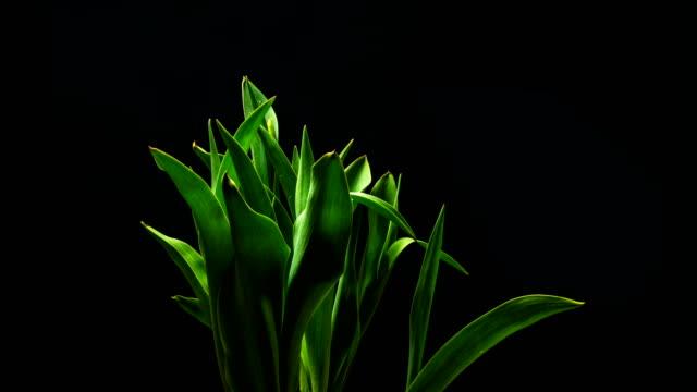 slow motion gul tulpan blomma blommar på en svart bakgrund, - tulpan bildbanksvideor och videomaterial från bakom kulisserna
