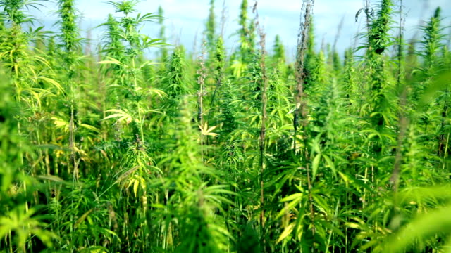 HD: Slow moving away from cannabis field HD1920x1080: High quality produced HD Stock Footage Clip of Industrial cannabis field and single hemp plants shots  from different angles while shaking in the wind on a sunny day near the roadside. hashish stock videos & royalty-free footage