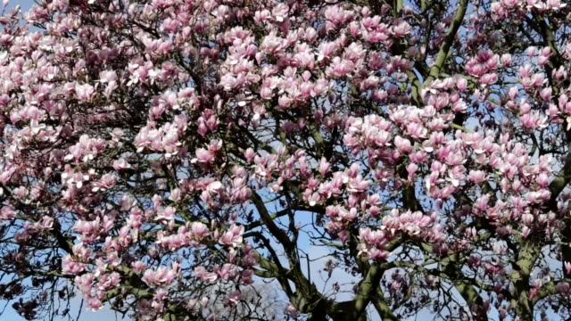 Slow pan across pink magnolia blossom tree HD video video