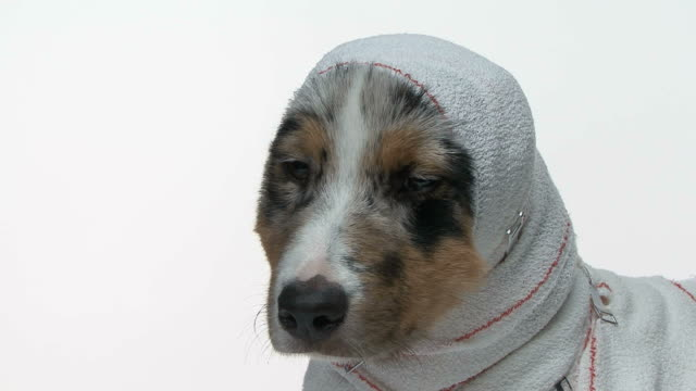 Slow panoramic on a  Australian Shepherd wrapped in medical bandage video