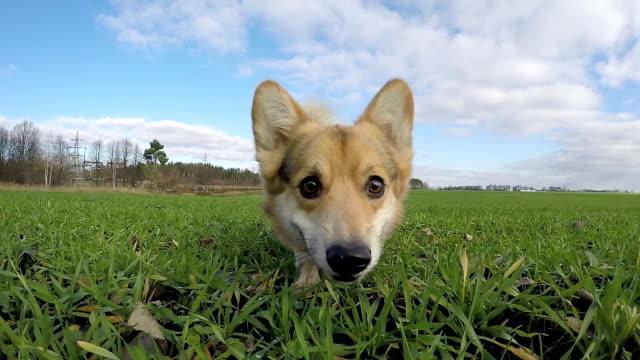Slow shooting. Dog Welsh Corgi Pembroke runs, frolic on the green field. Slow shooting. Dog Welsh Corgi Pembroke runs, frolic on the green field. smelling stock videos & royalty-free footage