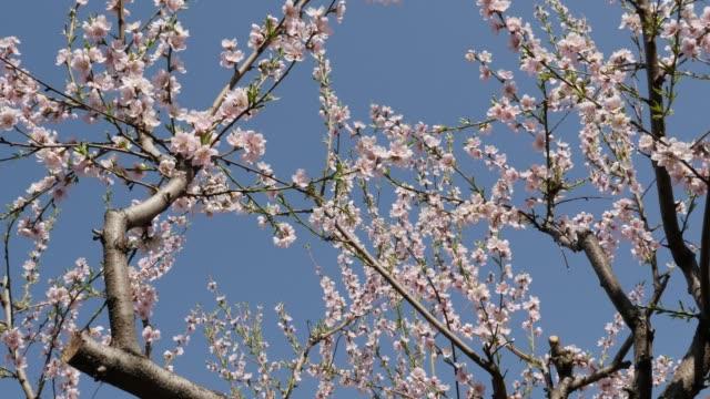 slow tilt prunus persica vårblommor mot blå himmel 4k - fruktträdgård bildbanksvideor och videomaterial från bakom kulisserna