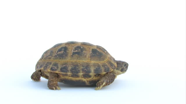 slow tortoise a looping video of a slow moving tortoise on white tortoise stock videos & royalty-free footage