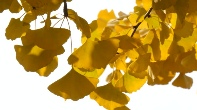 Slow wind in a swaying ginko leaves with high angle view Slow wind in a swaying ginko leaves with high angle view ginkgo tree stock videos & royalty-free footage