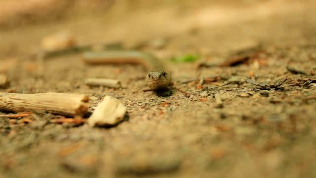 Slow worm,Anguis fragilis video