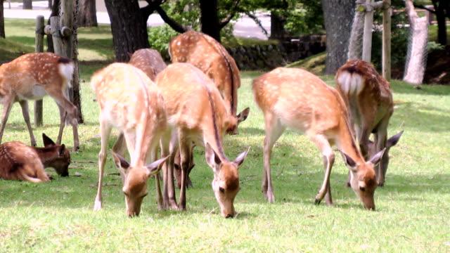 slow zoom in deer grazing - benekli geyik stok videoları ve detay görüntü çekimi