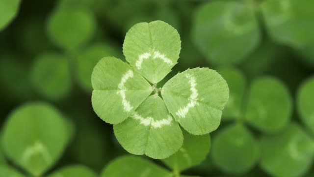 Slowly focusing on a lucky four leaf clover. Shamrock shape for lucky charm or St. Patrick's Day.