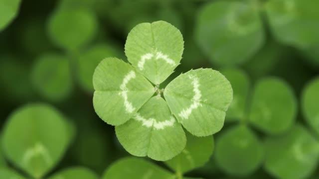 vídeos de stock, filmes e b-roll de lentamente focando em um trevo de quatro folhas sortudo. forma shamrock para o amuleto da sorte ou dia de são patrício. - boa sorte