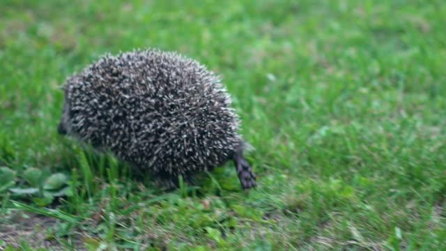 ゆっくりとヘッジホッグは晴れた日に緑の草の上を走ります ビデオ