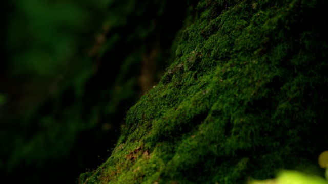 Slowly Moving Along The Trunk Of The Tree Overgrown With Moss video